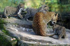 Tail Game (Sri Lanka Leopards)