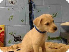 San Bernardino, CA - Terrier (Unknown Type, Small) Mix. Meet URGENT ON 7/16  San Bernardino, a puppy for adoption. http://www.adoptapet.com/pet/16089744-san-bernardino-california-terrier-unknown-type-small-mix