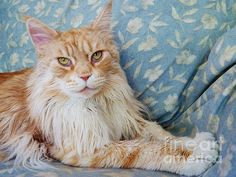 """Photograph, """"Maine Coon,"""" by Judy Via-Wolff, Fine Art America."""