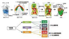 広島大、右心室以外の心臓を構成する細胞へ分化する前駆細胞を発見   マイナビニュース