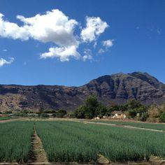 Waianae green onion fields