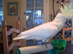 Sulfur Crested Cockatoo named Cowboy dancing Animal Pictures, Cute Pictures, Diy Bird Toys, Talking Parrots, Funny Animals, Cute Animals, Funny Parrots, Bird Gif, Cockatoo