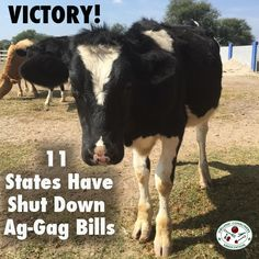 Factory farms want to keep us in the dark about the terrible conditions their animals endure. But consumers and activists are working tirelessly to inform the public. Learn about the latest victory for animal rights: http://orgcns.org/1Ab3AtJ #BoycottFactoryFarms