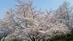 올해는 벚꽃 다봤다 ㅠ