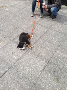 This puppy fell asleep in the middle of a walk. Just like my berner!