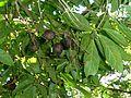 Rothmannia Globosa, loof en vrugte             September Bells         Klokkies-valskatjiepiering           4-7m  (15)     S A no 695           The Waterberry