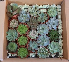 """2"""", 2.5"""", and 4"""" potted favors, from all pastel rosettes, to gold pails, to a collection of larger assorted echeveria types. We sell them all. thesucculentsource@gmail.com"""