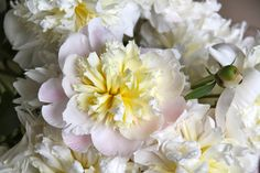 bigBANG studio: Peonies: A One-Act Play: The peonies are just now budding in Seattle, but already quite the show-offs on the East Coast!