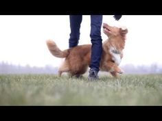 Have you ever heard of the Nova Scotia Duck Tolling Retriever? It's a mouthful, isn't it? That being said, this is one of the most well-balanced dogs in Nova Scotia Duck Tolling Retriever, Bulldog Breeds, Most Popular Dog Breeds, Big Animals, Yorkshire Terrier, Dog Pictures, Best Dogs, Dog Cat, Puppies