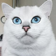 Here I bring the pictures of most beautiful eyes of Coby a British Shorthair cat. Meet Coby the cat! Most Beautiful Eyes, Beautiful Cats, Stunning Eyes, Tapetum Lucidum, Cat Body, Image Chat, Cat With Blue Eyes, British Shorthair, White Cats