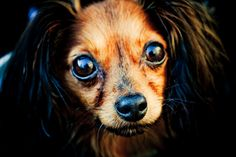Russian Toy Terrier / Russkiy Toy / Русский той #Puppy #Dog Russian Toy Terrier, Russian Dogs, Dog Rules, Little Critter, Wild Dogs, Beautiful Dogs, Animal Drawings, Dog Toys, Best Dogs