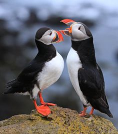 Atlantic Puffins in Látrabjarg - Iceland