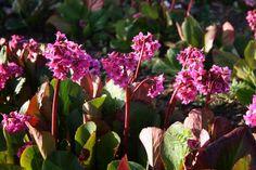 Bergenia cordifolia 'David', Standort: Sonnig bis schattig, Trockener bis normaler Boden Blütezeit:  3 - 5 Höhe: 40 cm