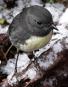 Black robin or Chatham Island robin (Petroica traversi) is an endangered bird from the Chatham Islands off the east coast of New Zealand. It is closely related to the New Zealand robin (P. australis).