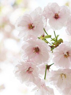 Prunus lannesiana 'Hisakura'