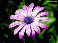 flowers daisy   free light purple african daisy flower pictures