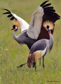 Grey headed cranes