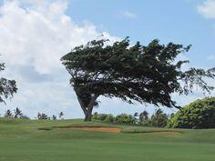 A Wind Blown Tree I Saw In Hawaii