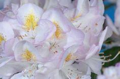Rhododendron 'Gomer Waterer'  Rhododendron 'Gomer Waterer' är en städsegrön rhododendron som gläder oss med en vacker blomning. Blomknopparna är svagt rosa. Blommorna är rosa till vita. Bladverket är vackert mörkgrönt. Denna sort av rhododendron blommar från maj till juni.