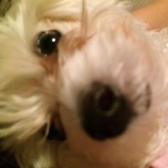 #love this #face #baby #dog #Maltese #puppylove  by livelovebeautybar