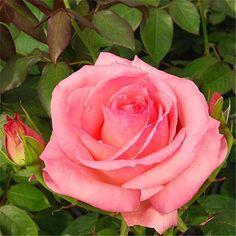 'Ma Normandie' – syn. 'Gräfin Bettina' – Delbard (2009). TH. Lang- en rijkbloeiend met gevulde lichtroze (snij)bloemen (12-14cm). Intens parfum van Oude rozen en rode vruchten. Zeer gezond. 100cm x 60cm.
