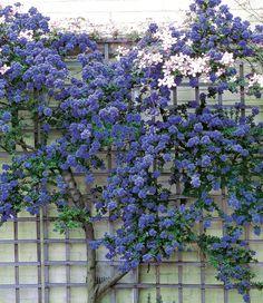 """Ceanothus """"Trewithen Blue"""", 1 plant - All For Garden Blue Garden, Dream Garden, Back Gardens, Outdoor Gardens, Climber Plants, Climbing Flowers, Coastal Gardens, Garden Shrubs, Vegetable Garden"""