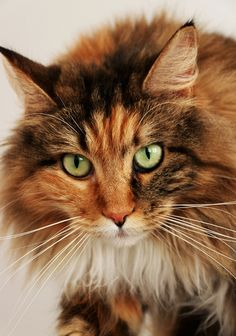 (Video) How to Prevent your Cat from Spraying ------------------------------------------------------------------- Pretty Cats, Beautiful Cats, Cute Cats And Kittens, Cool Cats, Baby Animals, Cute Animals, Cat Reference, Cat Behavior, Warrior Cats