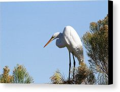 Greater Egret On Desert Broom Canvas Print by Tom Janca.  All canvas prints are professionally printed, assembled, and shipped within 3 - 4 business days and delivered ready-to-hang on your wall. Choose from multiple print sizes, border colors, and canvas materials.