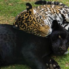 Leopard and panther Black Panther Cat, Black Jaguar White Tiger, Cute Baby Animals, Animals And Pets, Funny Animals, Wild Animals, Big Cats, Cats And Kittens, Cute Cats