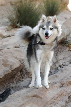 Alaskan Klee Kai  - because my guys want a Siberian Husky, and I want a small doggie...