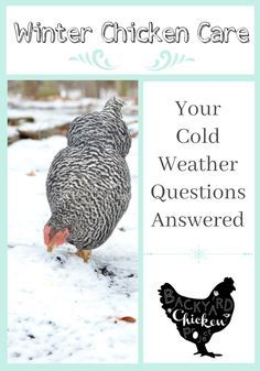 DIY Pets : Winter Chicken Care: Common Questions and Answers Chickens are easy to care for in the winter, they just require a few extra steps to be happy and healthy in cold weather. Raising Backyard Chickens, Keeping Chickens, Raising Rabbits, Backyard Poultry, Baby Chickens, Chicken Swing, Chickens In The Winter, Urban Chickens, Chicken Breeds