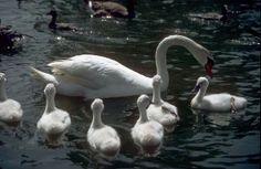 lente is voor mij.... baby zwanen in het park