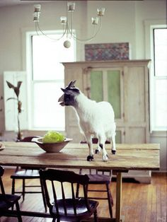 It's considered bad form to put your elbows ... or your goat ... on the table.