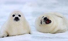 The young seal pups appear to enjoy their surroundings near the Gulf of St Lawrence in Quebec, Canada, even more thanks to extra thick ice which is helping them survive.