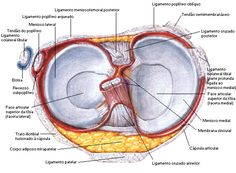 Aula de Anatomia   Joelho