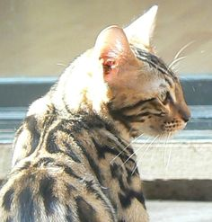 Bengal cat for sale in sacramento