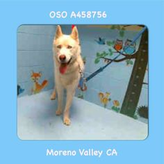 UPDATE FROM SHELTER: PLACED ON EUTH LIST 7/21/17 NEEDS EXIT IMMEDIATELY OWNER SURRENDER  OSO #A458756 Moreno Valley CA Shelter staff named me OSO and I am a neutered male red and white Siberian Husky and German Shepherd Dog. The shelter thinks I am about 2 years old. I have been at the shelter since Jul 13 2017 and I am available for adoption now!  http://ift.tt/2t2aWjW  Moreno Valley Animal Shelter at (951) 413-3790 Ask for information about animal ID number A458756  #Adoptdontshop…