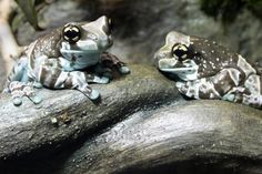 """Mission Golden-Eyed Tree Frog or Amazon Milk Frog - Trachycephalus resinifictrix - This large species of frog, 2.5 - 4"""" / 6.4 - 10 cm, is a member of the family Hylidae and is native to the Amazon Rainforest of South America. When disturbed, it secretes a poisonous milky liquid from its back"""