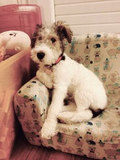 Fox Terriers, Chien Fox Terrier, Wirehaired Fox Terrier, Wire Fox Terrier, Terrier Dogs, Baby Puppies, Cute Puppies, Cute Dogs, Beautiful Dogs