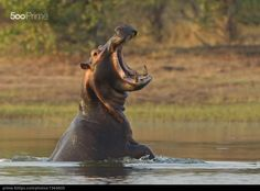Angry Hippo - stock photo