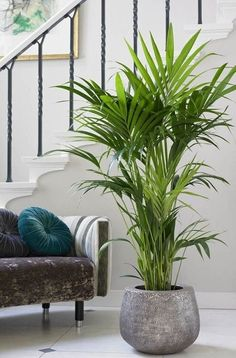 Indoor Palms, Best Indoor Plants, Indoor Plant Decor, Palm Plants, Tropical Plants, Living Room Plants, House Plants Decor, Living Rooms, Plantes Feng Shui