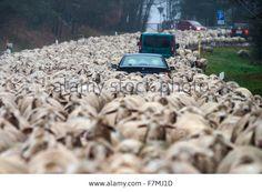 Bad Koetzting, Germany. 01st Dec, 2015. Cars stuck in a flock of #sheep near Bad Koetzting, Germany. Credit: dpa/Alamy Live News