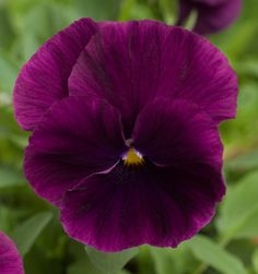 Viola 'Cool Wave Purple'. A pansy with rich purple coloration.