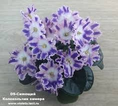 Image result for African Violet Chimera 'DS-Shining Bell
