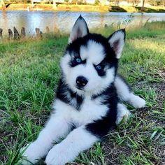 alaskan husky huskies types of huskies siberian husky temperament siberian husky facts huskies puppies husky meaning Siberian Husky Facts, Siberian Husky Puppies, Siberian Huskies, Siberian Husky Blue Eyes, Husky With Blue Eyes, Samoyed Dog, Cute Husky Puppies, Husky Puppy, Huskies Puppies