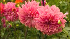 Decorative Dahlia `Edge of Gold displayed by the National Dahlia Collection at Chelsea Flower Show
