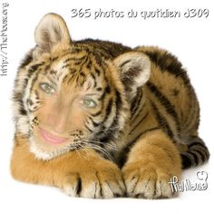 "Ce soir je joue avec une appli sur mon iPhone: Photolab... Me voilà ""souris BB tigresse""... Raouwwww!  #365virginieb2 #themouse #tiger #photolab #iphone #application #instathemouse #instagood #instalike #montage http://themouse.org"