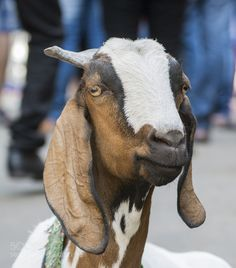 Portrait of a Goat by lazysuperstar. @go4fotos