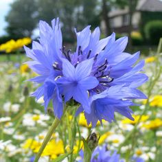 Buy cornflower Centaurea cyanus - A vivid blue annual for a meadow: approx 200 seeds: Delivery by Crocus Beautiful Flowers Photos, Unusual Flowers, Flower Photos, Wild Flowers Uk, Blue Flowers, Paper Flowers, Lush Beauty, Herbaceous Border, Buy Seeds