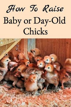 Raising day old chicks is not difficult if you have the right information, read on to learn how to successfully raise your own baby chicks. Day Old Chicks, Baby Chicks, Backyard Farming, Chickens Backyard, Backyard Poultry, Keeping Goats, Chicken Incubator, Building A Chicken Coop, Big Bird